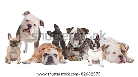 The Bulldog Family.American Bulldog,English Bulldog and French Bulldog