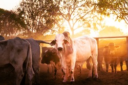 The bulls in the yards on a remote cattle station in Northern Territory in Australia at sunrise.