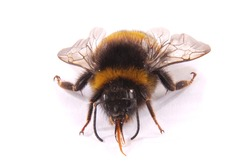 The Bumblebee (Bombus terrestris) view from the front isolated on white background. Close-up