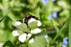 The Bumblebee collects nectar on White dead-nettle (Lamium album) flowers. White deadnettle is an herbaceous perennial plant sometimes called the Bee nettle. Close-up. Lithuania, May 2020.