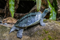The Burmese roofed turtle (Batagur trivittata) is one of six species of turtle in the genus Batagur of the family Geoemydidae. It is endemic to Myanmar.  It remains very rare in the wild.