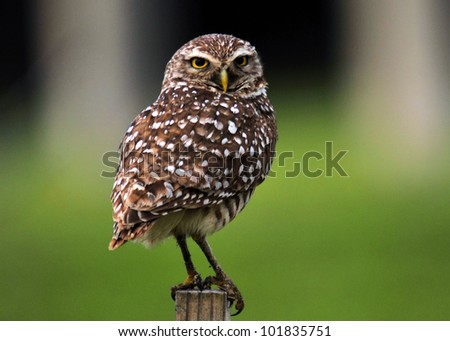 The Burrowing Owl  / Posting an Owl