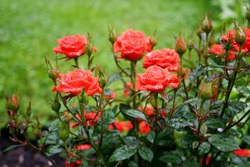 the bush of the red roses on the green lawn background after rain in the rural garden