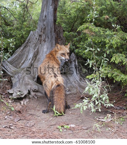 The bushy tail of the red fox is readily apparent as she stands against a forest tree.