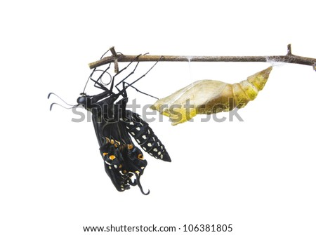 The Butterfly   Eastern Black Swallowtail (Papilio polyxenes) emerging from it's chrysalis