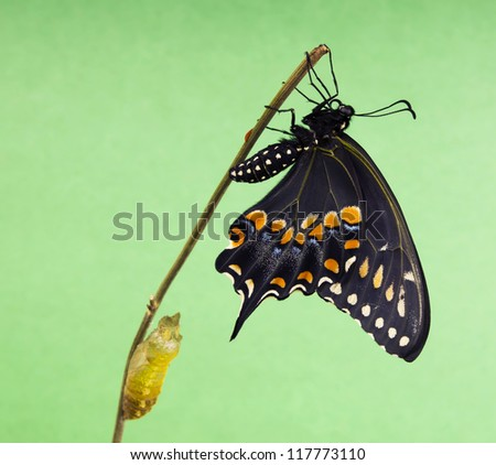 The Butterfly   Eastern Black Swallowtail (Papilio polyxenes) emerging from it's chrysalis on a green background