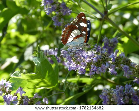 The butterfly Limenitis camilla (White Admiral) on violet flowers. Graceful brown butterfly.Charming summer image butterfly, greenery, flowers. Beautiful Adriatic nature. Wildlife of Montenegro. Foto stock ©