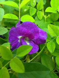 The Butterfly pea or Clitorea Ternatea double blue
