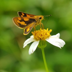 The butterfly sits on a camomile flower. while sucking honey from the flower princess. Macro.