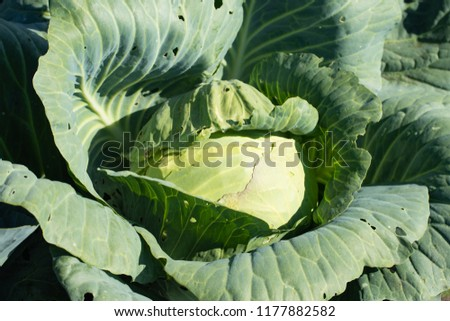 the cabbage on the bed grows close up #1177882582