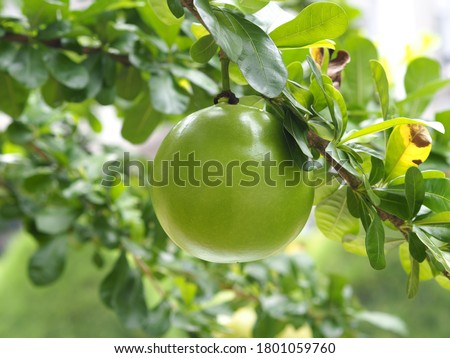 The calabash commonly known as vine calabash or bottle gourd. Its fruit is round, ball-shaped and is primarily used to make utensils e.g. cups, bowls. Brazillian use it as a resonator for berimbau. Stockfoto ©