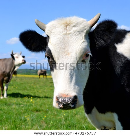 The calf on a summer pasture #470276759