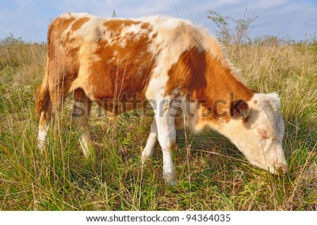 The calf on a summer pasture. The calf on a summer pasture.