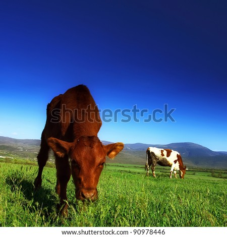 The calf on the background of the mountain scenery in the summer