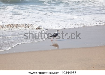 The California Gull Larus californicus is a medium-sized gull