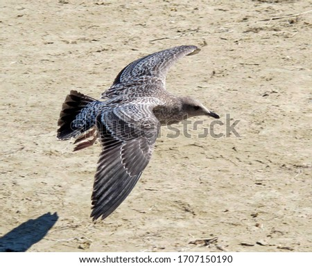 The California gull, or seagull, is a medium-sized gull, smaller on average than the herring gull but larger on average than the ring-billed gull, though it may overlap in size greatly with both