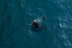 The California sea lion is a coastal eared seal native to western North America. Its natural habitat ranges from southeast Alaska to central Mexico, including the Gulf of California.