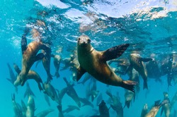 The Californian sea lions of Mexico's Baja California