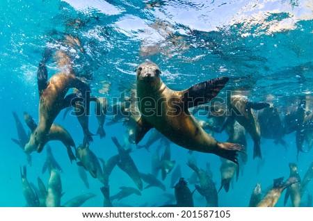 The Californian sea lions of Mexico's Baja California