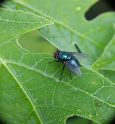 The Calliphoridae (commonly known as blow flies, blow-flies, carrion flies, bluebottles, greenbottles, or cluster flies) are a family of insects in the order Diptera, with 1,200 known species - image