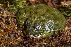 The Cameroon slippery frog (Conraua robusta) is one of the largest frog species on earth. These giant, heavily muscled frogs live in cold, fast-moving rivers in Cameroon and Nigeria