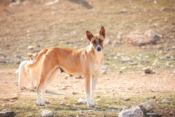 The Canaanite dog (Baladi in Palestine) is a rare ancient breed of one of the ancient breeds of grazing dogs for thousands of years in the regions of Asia, the Middle East and Egypt. It is attributed