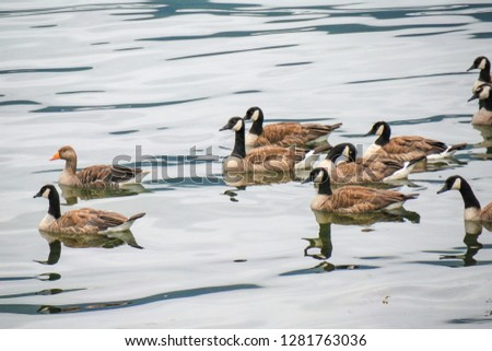 The Canada goose (Branta canadensis) and the greylag goose (Anser anser) are a large wild bird species. Birds in fjord environment. Norway. Sea water.  #1281763036