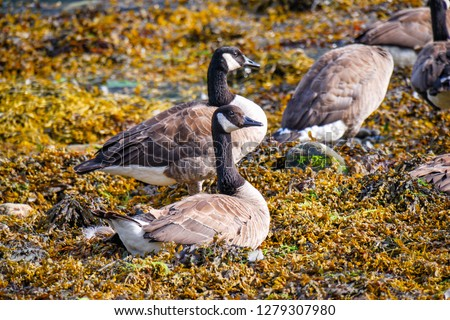 The Canada goose (Branta canadensis) is a large wild goose species. Birds in fjord environment. Norway. Sea water.  #1279307980