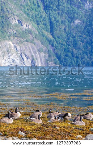 The Canada goose (Branta canadensis) is a large wild goose species. Birds in fjord environment. Norway. Sea water.  #1279307983