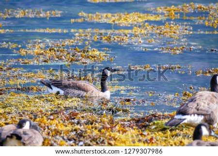 The Canada goose (Branta canadensis) is a large wild goose species. Birds in fjord environment. Norway. Sea water.  #1279307986