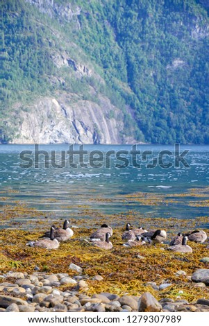 The Canada goose (Branta canadensis) is a large wild goose species. Birds in fjord environment. Norway. Sea water.  #1279307989