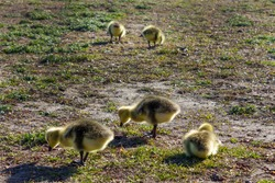 The Canada goose is a large wild goose baby geese, goslings in spring near a lake Gatineau, Quebec