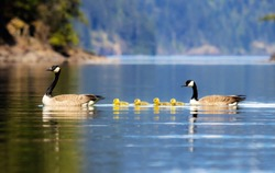 The Canada goose is a large wild goose species with a black head and neck, white cheeks, white under its chin, and a brown body. Native to arctic and temperate regions of North America.