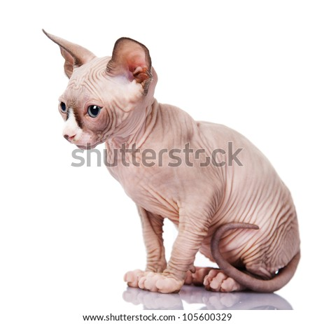 The Canadian sphynx. isolated on white background