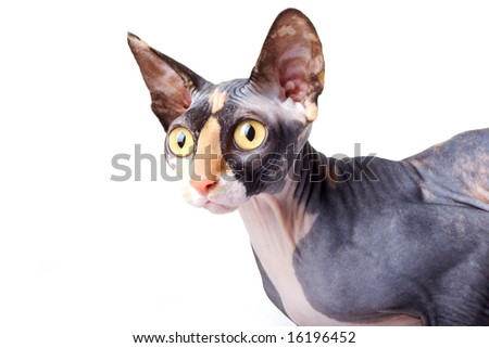 The Canadian sphynx. light background