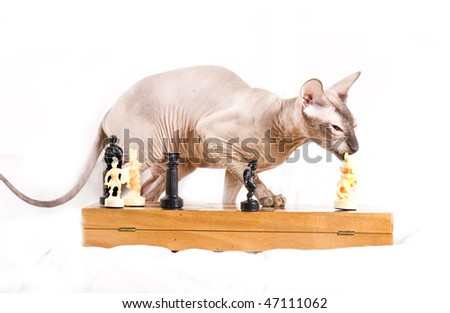 The Canadian sphynx play chess
