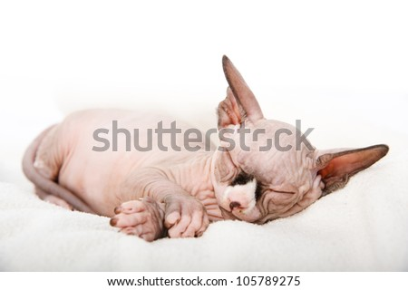 The Canadian sphynx sleep. isolated on white background