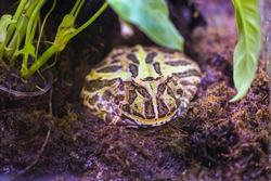 The cane toad, also known as the giant neotropical toad or marine toad live in glass aquarium