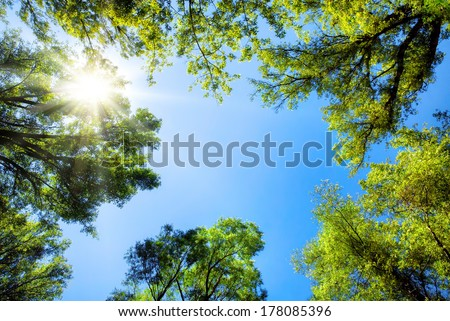 The canopy of tall trees framing a clear blue sky, with the sun shining through #178085396