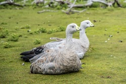 The Cape Barren goose (Cereopsis novaehollandiae) is a large bird commonly encountered in the Maria Island of East Coast Tasmania.