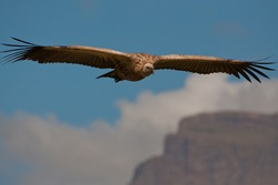 The Cape Griffon or Cape Vulture (Gyps coprotheres) at Giants Castle Nature Reserve in South Africa