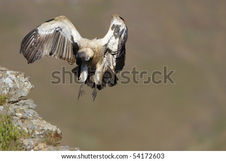 The Cape Griffon or Cape Vulture (Gyps coprotheres) landing onto the rock in South Africa. It is an Old World vulture in the Accipitridae family