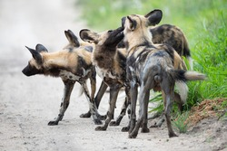 The Cape Hunting Dog, often called Wilddog, as seen on Safari in south africa