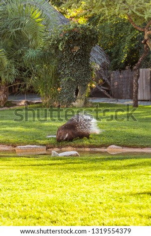 The Cape porcupine or South African porcupine, (Hystrix africaeaustralis), is a species of Old World porcupine
