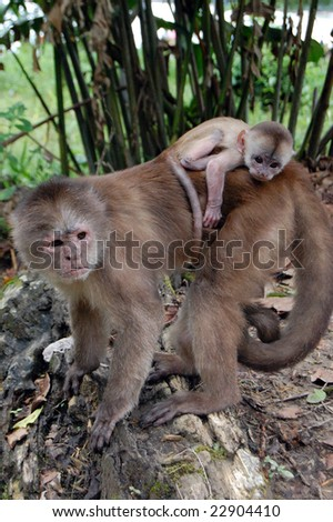 The capuchins are the group of New World monkeys classified as genus Cebus. The range of the capuchin monkeys includes Central America and South America as far south to northern Argentina.