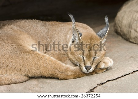 The Caracal (Caracal caracal), also called Persian Lynx or African Lynx, is a fiercely territorial medium-sized cat.