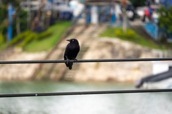 The Carib Grackle (Quiscalus lugubris). A Black Bird Standing on the Electric Wires by the River in Guatape, Colombia