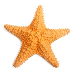 The caribbean starfish on a white background.