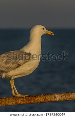 The Caspian gull (Larus cachinnans) is a large gull and a member of the herring and lesser black-backed gull complex. The Caspian gull breeds around the Black and Caspian Seas.