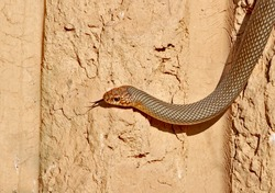 The Caspian whipsnake (Dolichophis caspius) crawl along the vertical clay wall to the bee-eater's nests
